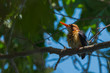 African Pygmy Kingfisher drying after a bath