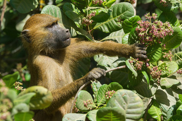 Western Baboon (Papio papio) reaching for an unripe cashew apple