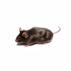 Black lab mouse isolated on white background, Germany