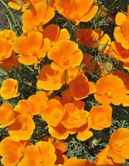 Orange eschscholzia (Eschscholzia Californica) -flower backgroun