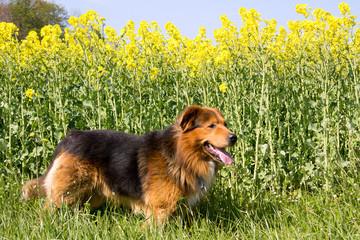 Hund steht vor einem Rapsfeld