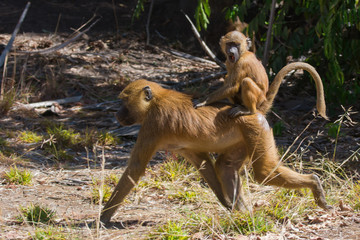 Young Western Baboon (Papio papio) riding on its mothers back