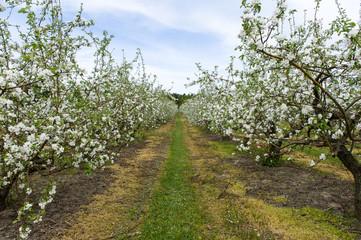 Apple`s orchard