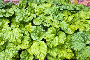 Young rhubarb plants growing in a kitchen garden.