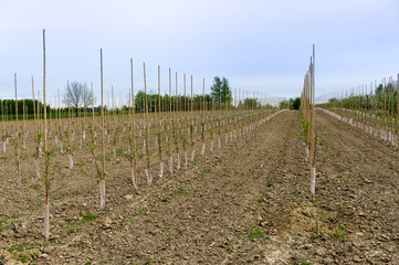 Plantation of young apple`s trees