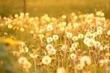 pusteblumen im sonnenlicht IV - 64488286