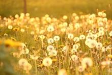 pusteblumen im sonnenlicht IV