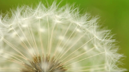Dandelion in wind (macro)