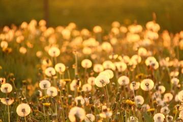 pusteblumen im sonnenlicht III