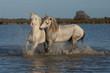 obraz - fighting stallions