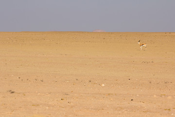 Crazy Springbok in the Stone Desert, Namibia