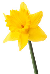 Daffodil flower or narcissus isolated on white background cutout