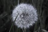 düsterer Pustepelz; Makroaufnahme einer Löwenzahnblüte - 64492853