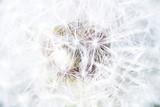 Fototapeta Pustekosmos; Makroaufnahme einer Löwenzahnblüte