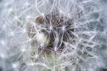 cosmos haleine; Photo macro d'une fleur de pissenlit