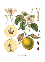 Quince Cydonia oblonga Old Antique bothanical print
