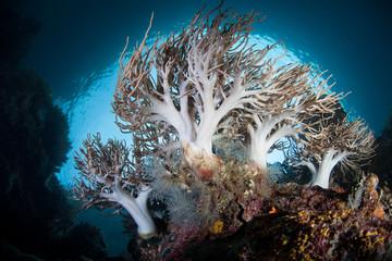 Pacific Soft Corals