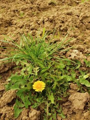 Dry ground of cracked and crushed clay with last green dandelion