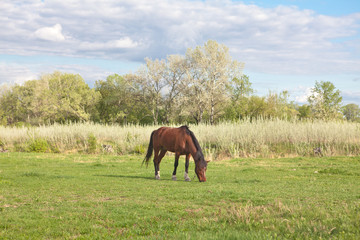 horse eating grass on the meadow