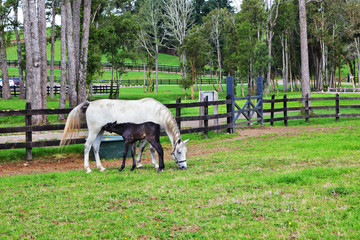 White horse and foal grazing in fenced lawn