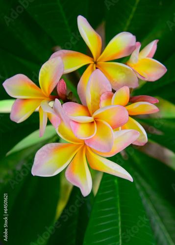 In de dag Frangipani Frangipani tropical flowers, Plumeria flowers fresh
