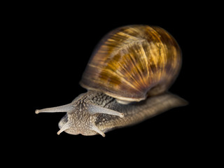 Burgundy snail, isolated