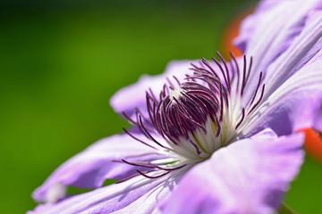 Blütenstempel einer Clematis