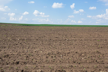 Plowed field in spring time. Rows of young corn