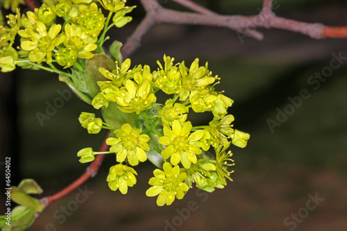 Maple flowers in spring