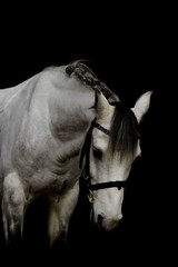 portrait of a welsh pony stallion in black background