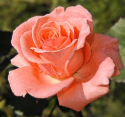 Rose pastellfarben