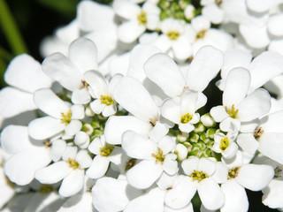 Schleifenblume - Iberis