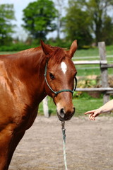 Pferdekopf Sportpferd Fuchs
