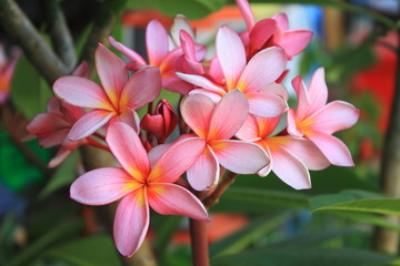 Frangipani (Plumeria) blossoms on the tree