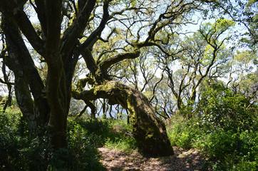 skurile Bäume im Märchenwald von Bussaco