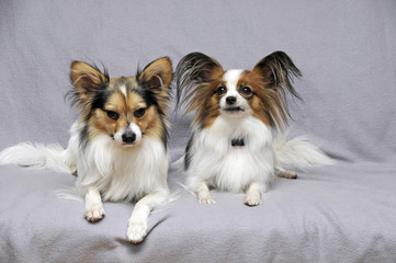 Papillon Couple