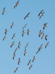 A Squadron of Great White Pelicans in the air