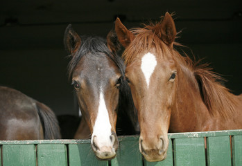 Young thoroughbred horses in the corral door.