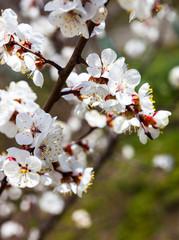 Apricot blossom branches