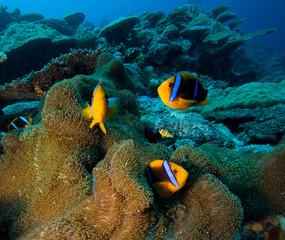 Clown Fish or Anemone fish in Pacific Ocean, Palau