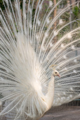 White peacock with feathers out vertical