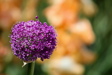 Giant Flowering Onion (Allium giganteum)