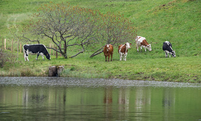 vaches au bord de l'eau