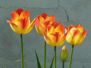 Tulpen an Mauer