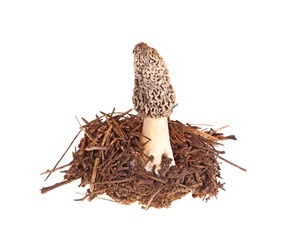 Gray morel mushroom and pine needle substrate isolated on white