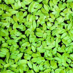 Closeup of green leaves background