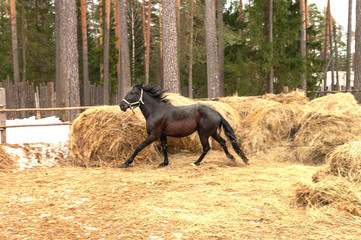 running horse in the forest and haystacks