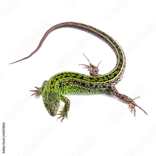 Sand lizard (Lacerta agilis) isolated on white - 64514826