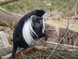 One angola colobus sit on the tree trunk