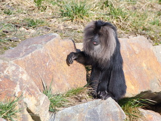 One Lion-tailed macaque on the rock